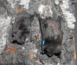 Myotis alcathoe (links) & M. mystacinus (rechts)